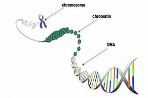 Diagram Of Chromatin : chromatin structure and function blogs ~ A.2002-acura-tl-radio.info Haus und Dekorationen