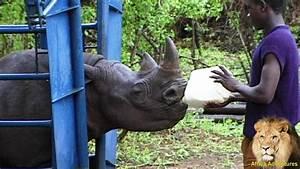 Feeding Orphaned Baby Black Rhino. - YouTube