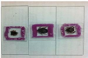 Shows The Mounted Tick Specimens