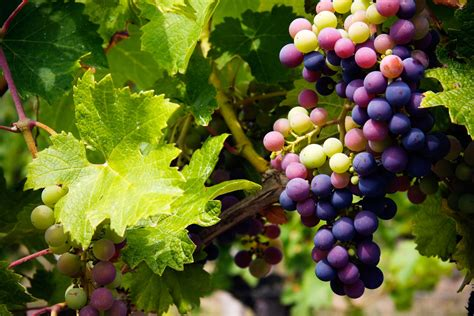what are grape vines grape harvest info best time for picking grapes
