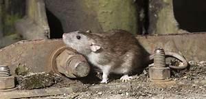 Mäuse Im Keller : ihr partner bei der bek mpfung von ratten adonex ~ Markanthonyermac.com Haus und Dekorationen
