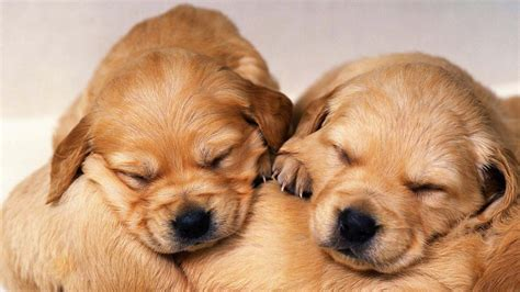 Cute Golden Retriever Puppies Wallpaper Image Free Hd