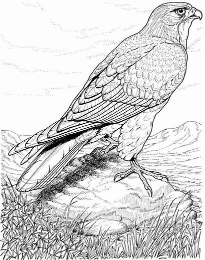 Coloring Pages Bird Adults Detailed Looking Hawk