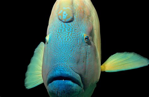 humphead wrasse  baltimore maryland inotternewscom