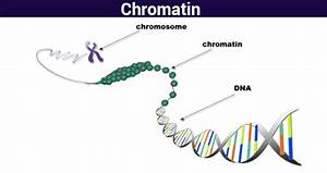 Diagram Of Chromatin : chromatin structure function analyzing chromatin ~ A.2002-acura-tl-radio.info Haus und Dekorationen
