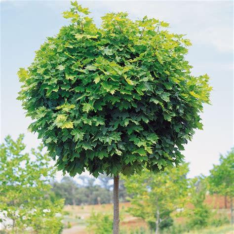 acer platanoides globosum acer platanoides globosum designer maple planter og blomster