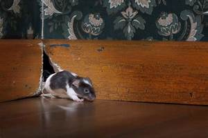 How To Stop Rodents Chewing Wires In Your Home  Prevention