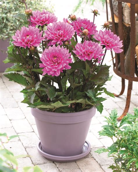 woodlands lifestyles homes magazine all about dahlias woodlands lifestyles homes magazine