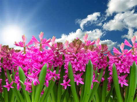 pink flowers hyacinth flowering plants   family