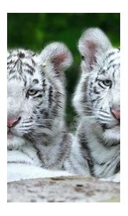 White Tiger Cub Wallpaper (57+ images)