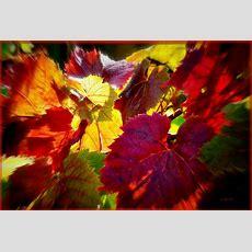 Les Feuilles De Vignes En Automne Sont Comme Les Filles Lo… Flickr