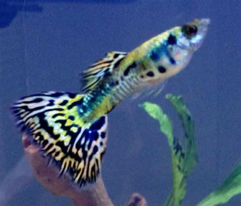 platinum mosaic halfmoon guppy male fishies