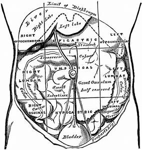 Regions Of The Abdomen And Their Contents
