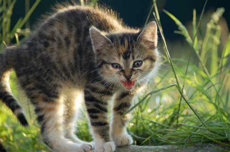 Warum Katzen Fauchen? Tierischeheldende