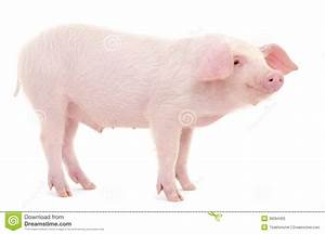 Pig On White Royalty Free Stock Photo