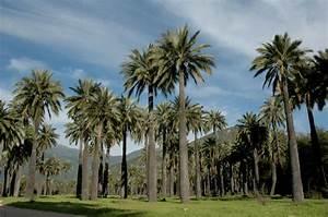 JUBAEA CHILENSIS (Molina) Baillon Fundación R A Philippi de estudios naturales