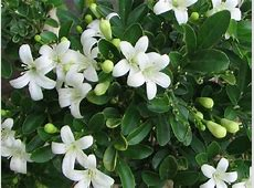 Murraya Paniculata Orange Jasmine Diaco's Garden