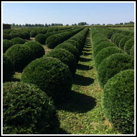 Yew English Ball Shape Topiary  Other Shapes Available