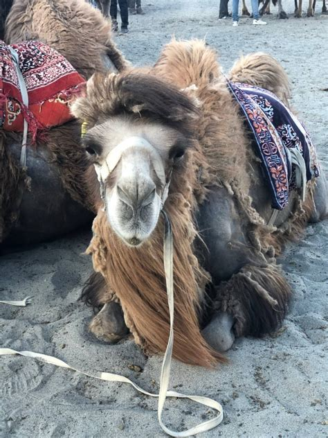 bactrian dune humped camel nubra sand ride two beasts burden camels wordlesswednesday