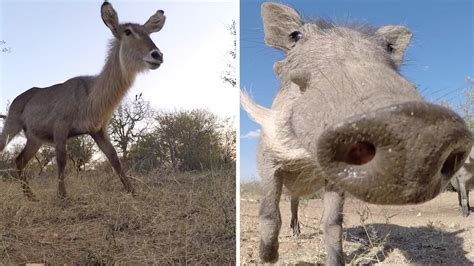 Incredible Footage Of Wild Animals In South Africa