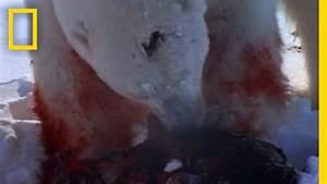 Polar Bear Attacks Ring Seal | National Geographic - YouTube