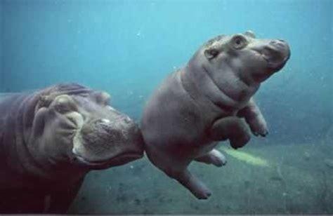 funny hippos    funny