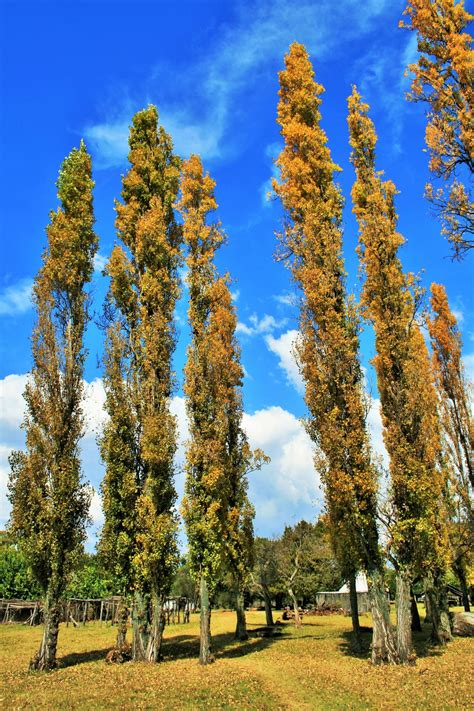 Tall Thin Yellow Poplars Free Stock Photo - Public Domain Pictures