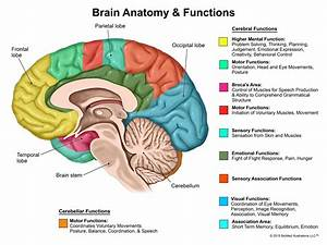 Which Lobe Of The Brain Controls Memory And Motor Function