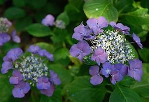 Hydrangea Macrophylla Winterhart : hydrangea 39 geoffrey chadbund 39 the landscape of us ~ Michelbontemps.com Haus und Dekorationen