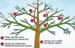 Hohlkehlleisten Auf Gehrung Schneiden Anleitung : obstbaumschnitt ltere b ume g rten pflanzen und ~ Lizthompson.info Haus und Dekorationen