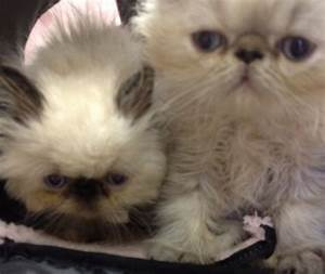 Himalayan Kittens First Check Up | VirtuaVet