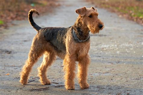 Non Shedding Small Dogs Uk by Airedale Terrier Breed Information Pet365