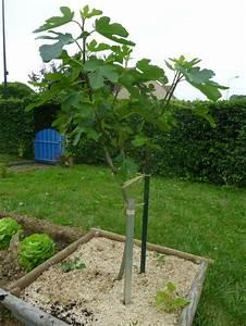 Planter Un Figuier : planter un figuier ~ Melissatoandfro.com Idées de Décoration