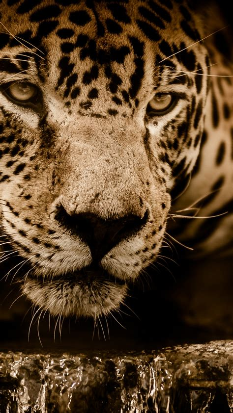 wallpaper jaguar hd  animals