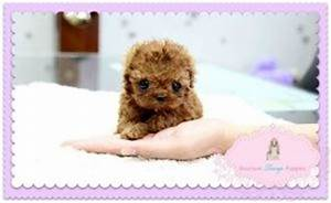 Micro Teacup Red Poodle | Things I Love | Pinterest ...