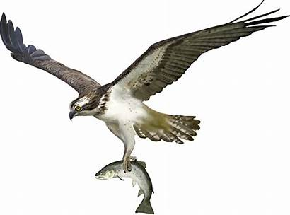 Osprey Lake Fish Holding Fishing Curlew Things