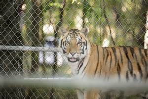 On the move: Tigers go from Dade City to Montana