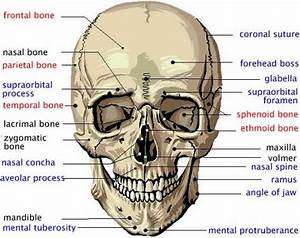 Human Skull Labeled Diagram