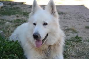 top 10 des races de chien de garde guide du chien