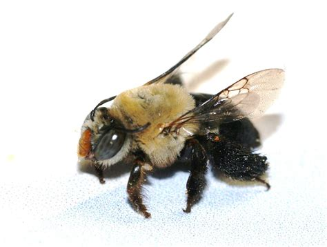 Arizona: Beetles, Bugs, Birds and more: Centris Bees and ...