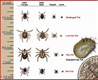 19 best images about Fleas and Ticks on Pinterest   Lyme ...
