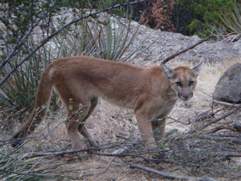 young female mountain lion collared   santa monica