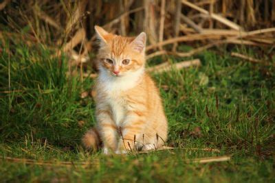 imagen gratis gato caja piel animal equipaje gatita mascota gatito felino