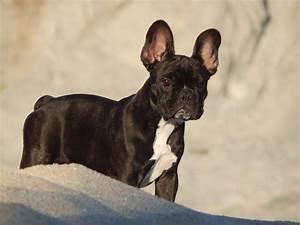 Hundebekleidung Französische Bulldogge : rasseportr t die franz sische bulldogge die hundezeitung ~ Frokenaadalensverden.com Haus und Dekorationen