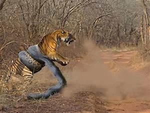 Tiger Vs Elephant Who Will Win