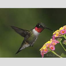 Attracting Hummingbirds  Earth Sky Time