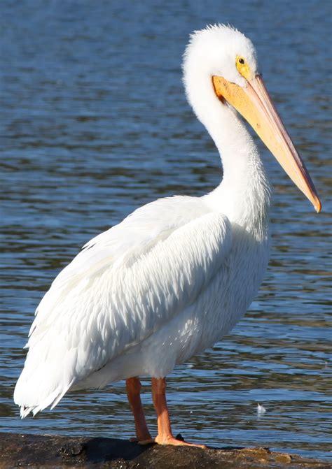 vents des sables pelican