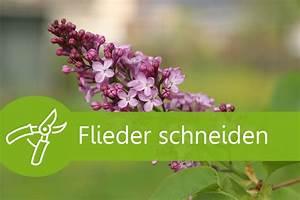 Eibe Schneiden Beste Zeit : flieder schneiden 5 anleitungen und 3 tipps zum kultivieren ~ Frokenaadalensverden.com Haus und Dekorationen