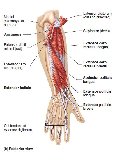 The term forearm is used in anatomy to distinguish it from the arm. Elbow Anatomy - MKS