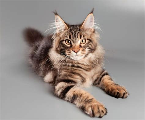 Who's That Cat? The Maine Coon: Gentle Giant, U.S. Native ...